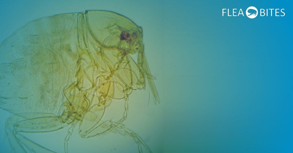 fleas on humans