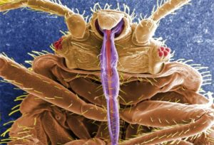 bed bug through electron microscope showing mouthparts